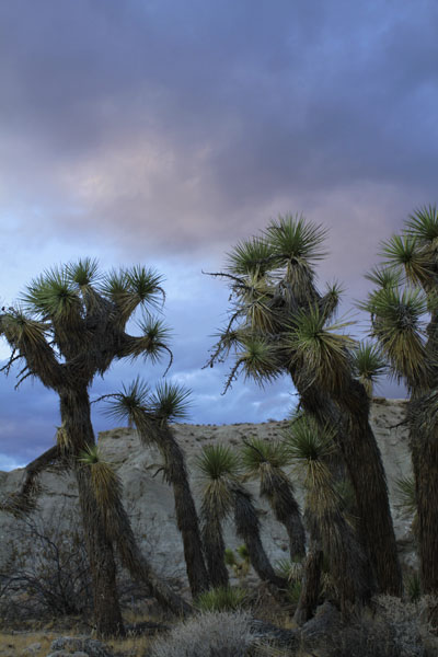 Joshua trees with dark clouds in background