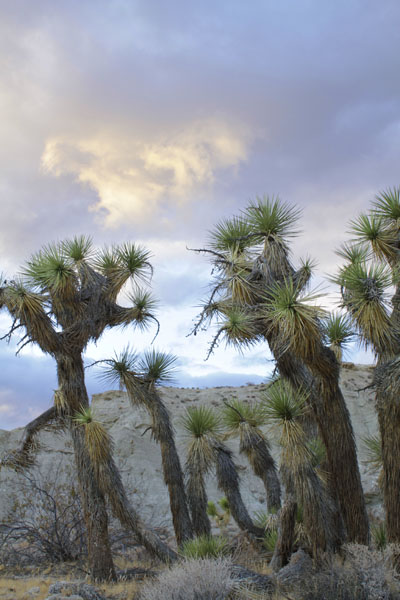 Joshua Trees with clouds in the background