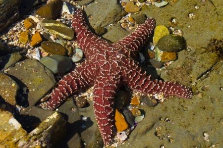 Purple starfish on rocks