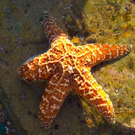 Orange starfish on rocks