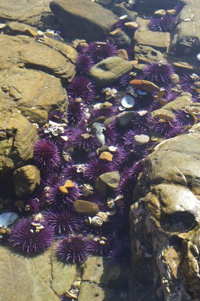 Purple sea urchins on the rocks.
