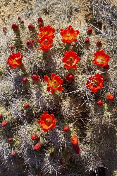 cactus with flowers on it