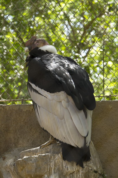 condor family bird in zoo