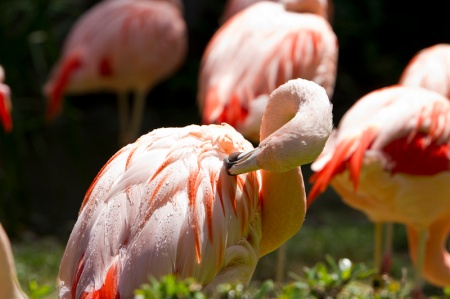 flamingo in zoo