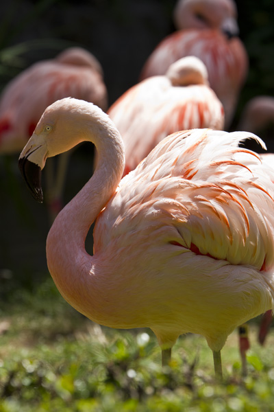 flamingo fluffing feathers