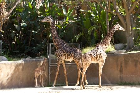 long shot of giraffes