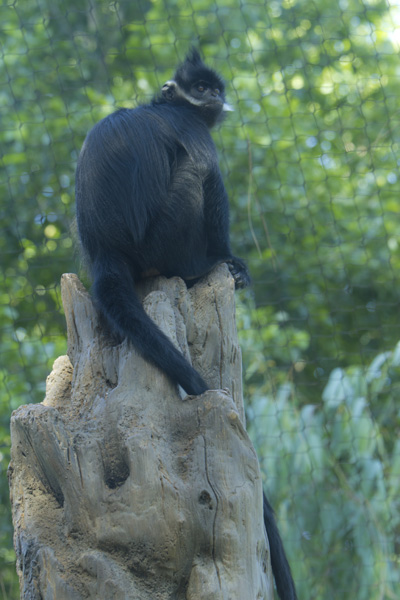 long tail monkey in zoo