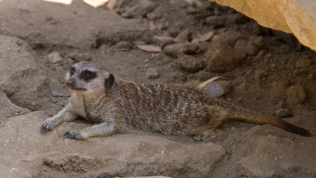 meerkat in cage at zoo