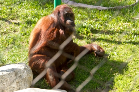 orangutan in cage at zoo