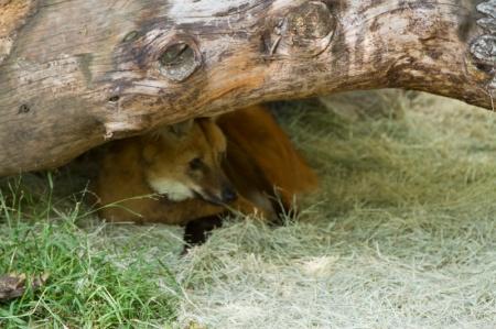 red wolf under log