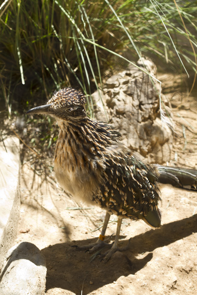 roadrunner in zoo