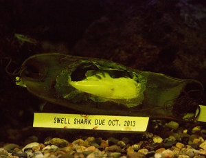 Shark egg case with hole to see baby shark growing in egg.  2013