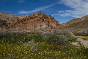 Red Rock Canyon wildflowers landscape fine art