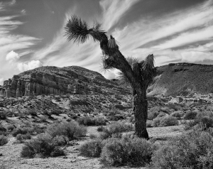 Joshua Tree in Red Rock Canyon, Mojave Calif. 2014