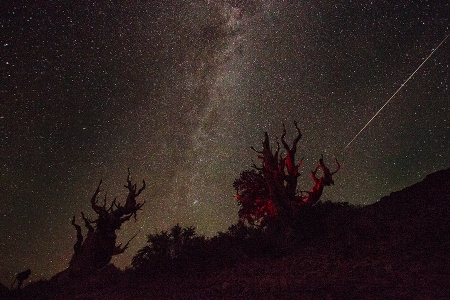 Ancient Bristlecone Pine, Milky Way, shooting star