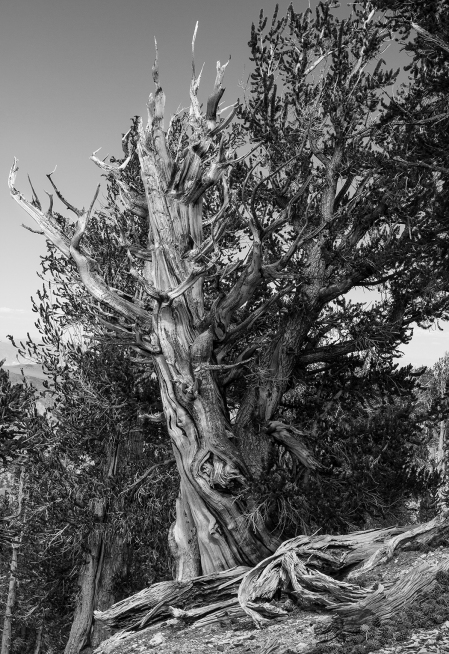 20160701 Bristlecone  post-3431-2FB
